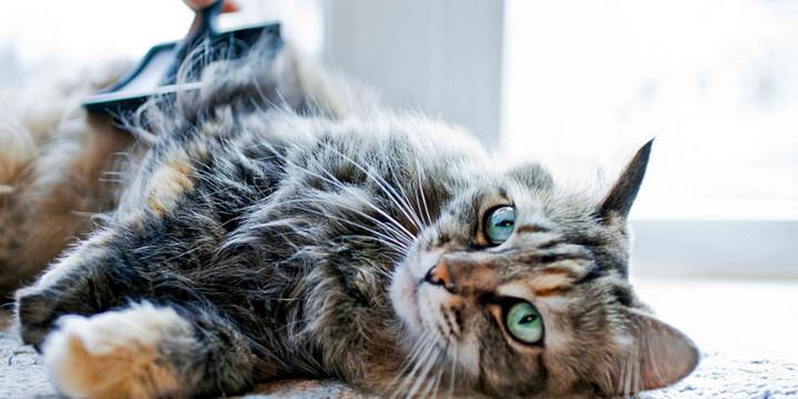 Perawatan harian pada kucing 01 rutin menyisir bulu kucing